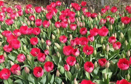 מהולנד באהבה: אלפי צבעונים הולנדים פורחים בימים אלו בגן הבוטני